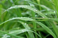 Alta erba verde con le gocce di acqua dopo pioggia Fotografie Stock