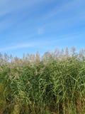 Alta erba verde con le punte contro cielo blu Fotografia Stock