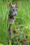 Alta erba verde di Grey Young Cat Sitting In Fotografie Stock Libere da Diritti