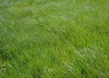 Alta erba verde - fondo Fotografie Stock Libere da Diritti