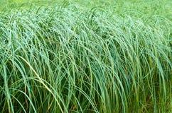 Alta erba verde Fondo della natura Fotografia Stock Libera da Diritti