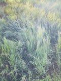Alta erba verde fresca nel giardino di primavera, textur astratto naturale Immagine Stock