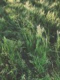 Alta erba verde fresca nel giardino di primavera, textur astratto naturale Fotografia Stock