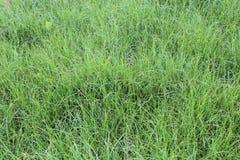 Alta erba verde nel campo Immagini Stock