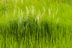 Alta erba verde spessa, fondo Fotografia Stock