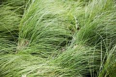 Alta erba verde su ventoso Fotografia Stock Libera da Diritti