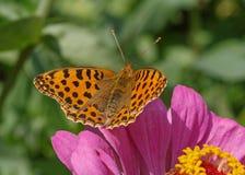 Alta farfalla del Fritillary del Brown Immagine Stock