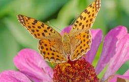 Alta farfalla del Fritillary del Brown Immagine Stock Libera da Diritti