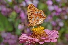Alta farfalla del Fritillary del Brown Fotografie Stock