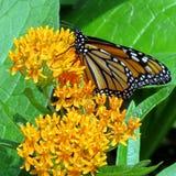 Alta farfalla di monarca del parco di Toronto 2017 Fotografia Stock Libera da Diritti