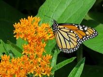 Alta farfalla di monarca del parco di Toronto su un fiore 2017 Fotografia Stock Libera da Diritti