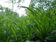 Alta fine lunga dell'erba verde sul macro dettaglio Fotografie Stock Libere da Diritti