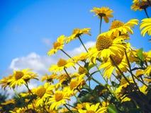 Alta fioritura gialla eccellente della margherita Fotografia Stock Libera da Diritti