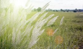 alta flor de la hierba en campo Fotos de archivo