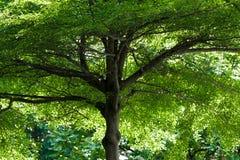 Alta foglia torreggiante di verde dell'albero e rami alti Fotografia Stock