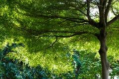 Alta foglia torreggiante di verde dell'albero e rami alti Immagini Stock