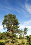 Alta foresta del pino Immagine Stock