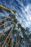 Alta foresta del pino Fotografia Stock Libera da Diritti