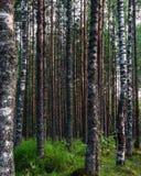 Alta foresta della betulla della gamma dinamica sul lago Fotografia Stock