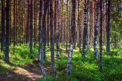 Alta foresta della betulla della gamma dinamica sul lago Immagine Stock Libera da Diritti