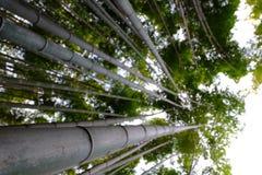Alta foresta di bambù Fotografie Stock Libere da Diritti
