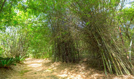 Alta foresta di bambù Immagine Stock Libera da Diritti