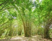 Alta foresta di bambù Fotografia Stock Libera da Diritti