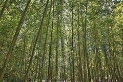 Alta foresta di bambù Fotografia Stock