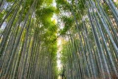 Alta foresta di bambù verde in Arashiyama, Kyoto, Giappone Fotografie Stock