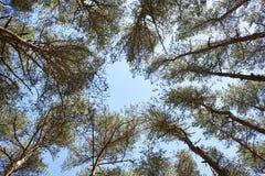 Alta foresta di legno di pino come cuore Immagine Stock Libera da Diritti