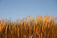 Alta hierba en la luz de la puesta del sol Foto de archivo libre de regalías