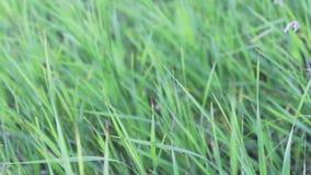 Alta hierba verde joven fresca que se sacude en el viento en el borde del bosque en verano almacen de metraje de vídeo