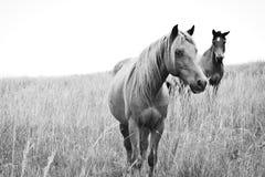 Altos caballos dominantes Foto de archivo libre de regalías