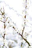 Alta immagine chiave degli alberi di fioritura di bianco in primavera Immagine Stock
