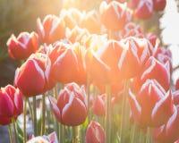 Alta immagine chiave dei tulipani di fioritura Immagini Stock