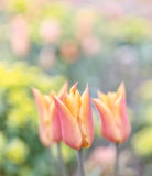 Alta immagine chiave dei tulipani nei colori pastelli Fotografia Stock Libera da Diritti