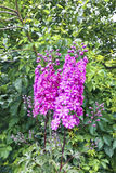 Alta inflorescenza dei fiori rosa di speronella Fotografia Stock Libera da Diritti