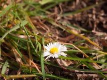 Alta luce solare bianca del dettaglio di DaisyMacro che splende e che emette luce Fotografia Stock