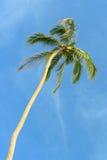 Alta palma Fotografia Stock