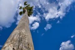 Alta palma di Washingtonia sotto cielo blu Fotografia Stock