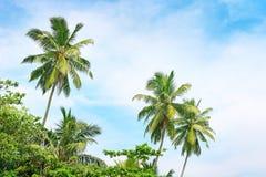 Alta palma su fondo di cielo blu Fotografia Stock Libera da Diritti
