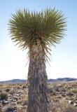 Alta pianta del Yucca di Soaptree del deserto Fotografia Stock
