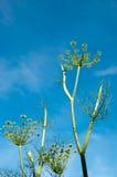 Alta pianta dell'aneto Fotografia Stock