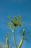 Alta pianta dell'aneto Immagini Stock