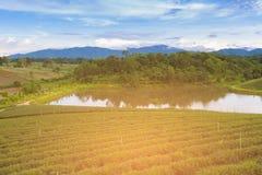 Alta piantagione della terra del tè verde Fotografia Stock
