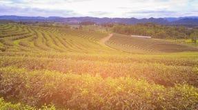 Alta piantagione di tè verde della collina Immagine Stock