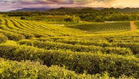 Alta piantagione di tè verde della collina Fotografia Stock