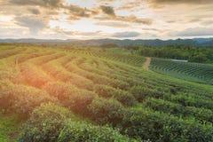Alta piantagione di tè verde della collina con l'orizzonte della montagna Fotografia Stock Libera da Diritti
