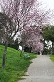Alta Plaza Park in blossom Stock Image