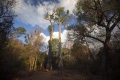 Alta prenotazione del baobab in Ankarana, Madagascar Immagini Stock